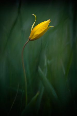Tulipa sylvestris by vincentfavre
