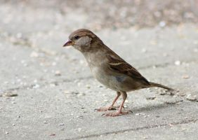 House sparrow by JetteReitsma