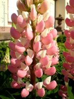 Pink Ladies (bi-color lupins) by Cloudwhisperer67