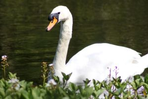Swimming Swan by Emz-Photography