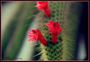 Cactus flower 2 by ShlomitMessica