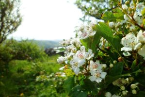 Hawthorn Blossom With Landscape by merearthling