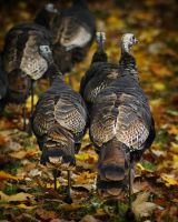 Wild Turkey by S-H-Photography