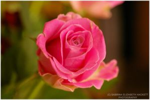 Baby Pink Rose by Hitomii