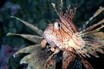 Lion Fish by Applinna