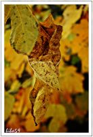 dried fig leaf by biba59