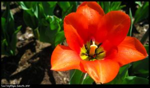 Coral tulip by TortueBulle