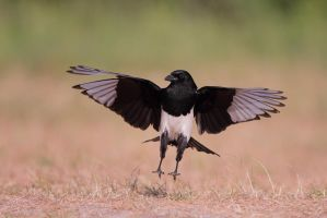 magpie landing by phalalcrocorax