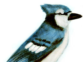 Blue Jay - Quick Painting by RoboEight