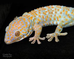 Tokay Gecko by lost-nomad07