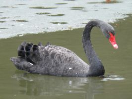 black swan stock by Mihraystock