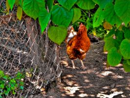 Live Poultry -HDR- by tripptaylor
