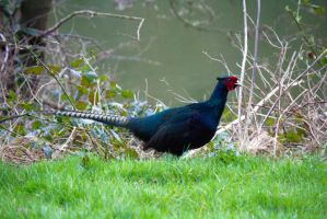 Another Cock Pheasant by Steve-FraserUK