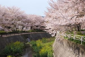 Sakura Along the River by WillAustinsArchive