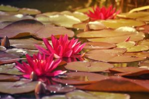Water lilys by NRichey