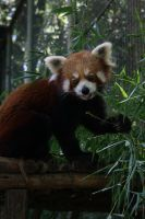 Red Panda Eating by Makki-Summer