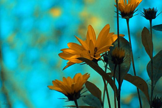flowers - blue by bergol