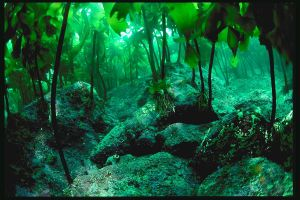 kelp forest by firefly3000