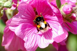 Bee And Flower-91 by lichtie