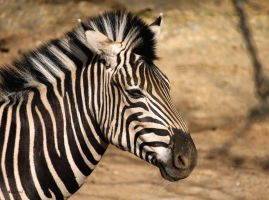 Wild Stripes by cindy1701d