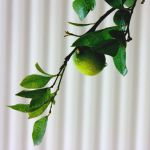 lemon tree by yasarsam