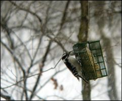 Downy Woodpecker by StormPetral0509