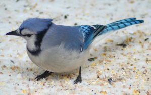 Blue Jay 4 by donnatello129