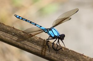 Azure Dragonfly by tweedale23