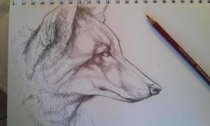 Coyote sketch by weaslrocks