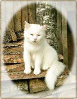 White Kitty by DanaAnderson
