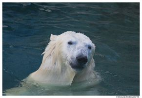 Sly Polar Bear by TVD-Photography