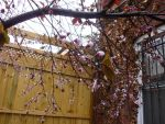 Plum Tree Spring 2 by LordNobleheart
