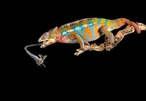 The Chameleons lunch by AngiWallace