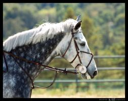 Grey Horse Portrait by rainyrose23