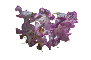 May 2015 Pink Flower PNG Stock.. by WelshDragonStockNArt