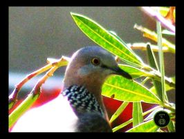 +Spotted Turtledove+ by Ranger-Roger-Reserve