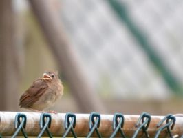 Baby Cardinal 4 by Noble-Kenshi