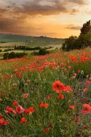 Tuscan poppies by JPawlak