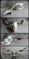Cashmere Goat Skull by CabinetCuriosities