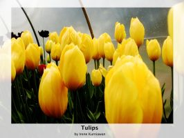 Tulips by cionia