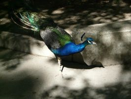 Peacock 03 by Unseelie-Stock