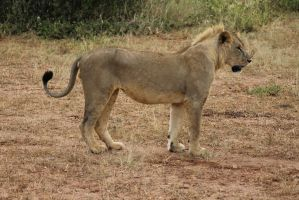 Young Male Lion 04 by syoul-stock