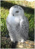 Snowy Owl I by Eirian-stock