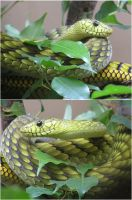 Green Mamba by TalkStock