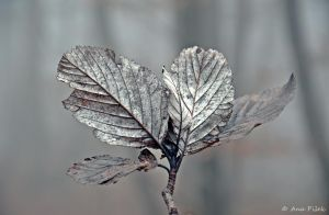 White Leafs by AnaPisek