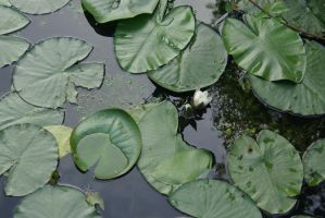 Waterlilies 1 by steppelandstock