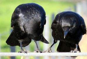 Crows (3) by Hubert11