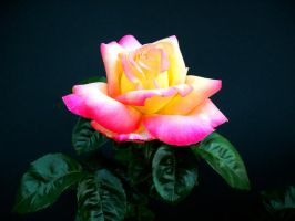 Versicolor Rose by Lunatron