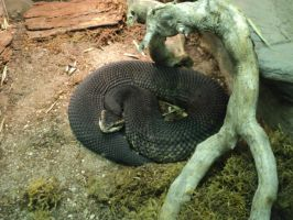 Cottonmouth by IntriguingBeast