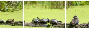 Turtles and a Duck by AmirNasher